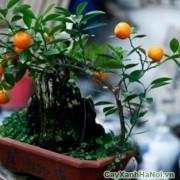 cay-bonsai-may-man-1