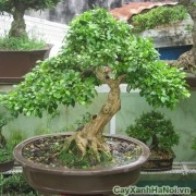 cay-bonsai-may-man-2