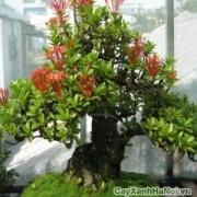 cay-bonsai-may-man-3