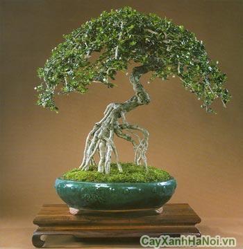 cay-bonsai-may-man-5